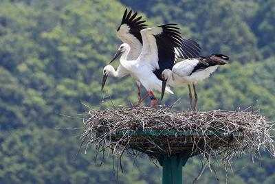 巣立ちに向けて飛び立つ練習をするひな(左と中央)。右は親鳥=京都府京丹後市久美浜町市場で2019年6月20日、飯室正吾さん撮影