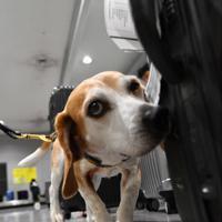 到着した乗客の荷物のにおいをかぐ検疫探知犬の「アルバート号」=関西国際空港で2019年6月17日、小松雄介撮影