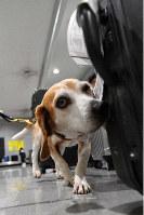 Detector dog Albert sniffs the luggage of arriving passengers at Kansai International Airport on June 17, 2019. (Mainichi/Yusuke Komatsu)
