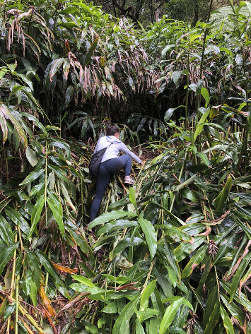 This photo provided by Yesenia D'Alessandro shows a volunteer climbing in the Makawao Forest Reserve in Haiku, Hawaii on May 16, 2019, while searching for Amanda Eller, a yoga teacher and physical therapist who went missing during a hike. (Yesenia D'Alessandro via AP)