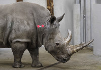 In this Feb. 13, 2019 file photo, female southern white rhino, 17-year-old Hope, is shot with tranquilizing darts, so a team of experts can harvest her eggs, at a zoo park in Chorzow, Poland. (AP Photo/Petr David Josek)