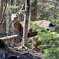 登山道近くの樹林帯に現れたニホンジカの雄=長野、山梨県境の奥秩父主脈で