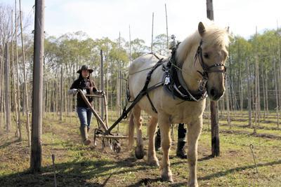 ブドウ畑を耕す雪丸=C.W.ニコル・アファンの森財団提供