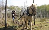 The horse Yukimaru pulls a plough through a vineyard. (Photo courtesy of the C.W. Nicol Afan Woodland Trust)