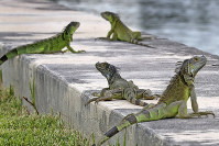 In this June 24, 2018, file photo, iguanas gather on a seawall in the Three Islands neighborhood of Hallandale Beach, Fla. (Mike Stocker/South Florida Sun-Sentinel via AP)