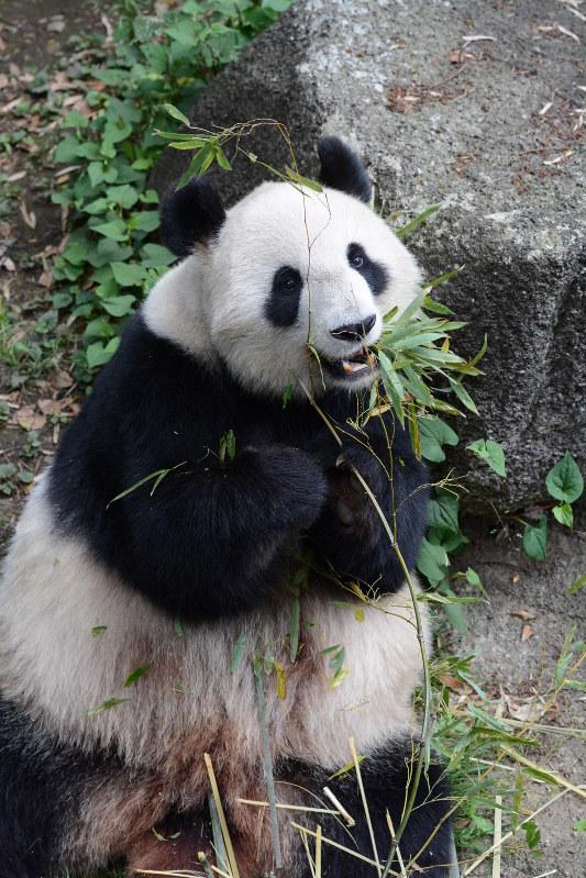 パンダのシンシン、発情の兆候なし 今季の繁殖難しく 上野動物園 ...