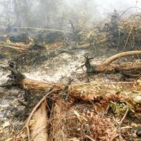 地中の泥炭が燃え、根が焼けた樹木=インドネシア中カリマンタン州で2015年10月、環境NGO「ウータン・森と生活を考える会」提供