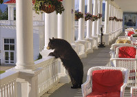 In this June 29, 2019 photo provided by Sam Geesaman, a black bear peers over a railing on the back veranda at the Omni Mount Washington Resort just after sunrise at Mount Washington, N.H. (Sam Geesaman/Omni Mount Washington Resort via AP)