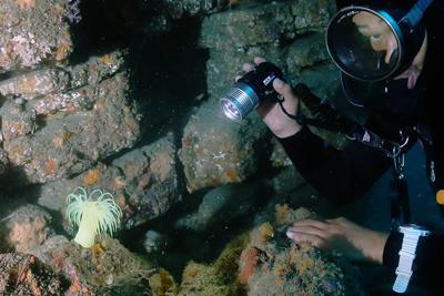 オオカワリギンチャクの成体を照らす古久保正宗さん=和歌山県白浜町沖で、山本芳博撮影