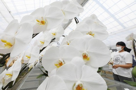 In Photos: Fukushima orchids ready for shipment ahead of election celebrations