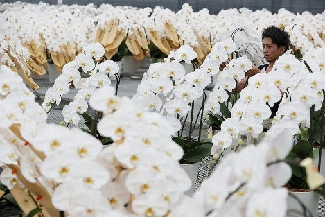 Moth orchids are seen in the village of Katsurao, Fukushima Prefecture, on July 14, 2019, ahead of their shipment for the July 21 House of Councillors election. (Mainichi/Masahiro Ogawa)