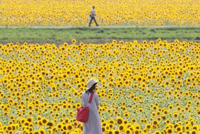 見ごろを迎えたヒマワリを眺める女性=兵庫県小野市で2019年7月17日午後3時45分、小出洋平撮影