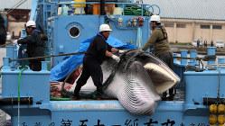 商業捕鯨が再開し、小型捕鯨船に乗せられたミンククジラ=北海道釧路市で7月1日、貝塚太一撮影