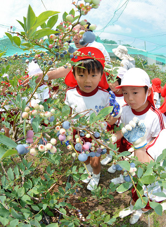 楽しそうにブルーベリーを摘み取る園児たち=香川県善通寺市与北町で