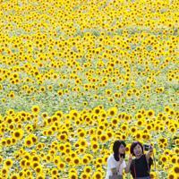 見ごろを迎えたヒマワリを背景にして写真撮影を楽しむ観光客=兵庫県小野市で2019年7月17日午後3時54分、小出洋平撮影