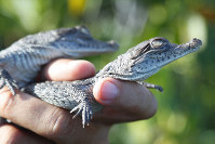 Wildlife biologist/crocodile specialist Michael Lloret releases baby crocodiles back into the wild along the cooling canals next to the Turkey Point Nuclear Generating Station after having measured and tagged them with microchips to observe their development in the future, on July 19, 2019, in Homestead, Fla. (AP Photo/Wilfredo Lee)