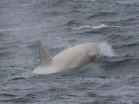 A white killer whale is seen in Nemuro Strait off the Shiretoko Peninsula in Hokkaido on July 19, 2019. (Photo courtesy of Shiretoko Nature Cruise)