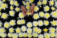 Chrysanthemums are seen in this recent photo taken at a seed cultivation farm in the city of Tahara, Aichi Prefecture, in central Japan. (Mainichi/Toshiki Miyama)