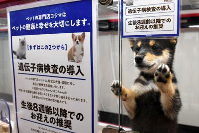 遺伝病の発症を避けるため、遺伝子検査をして販売されるイヌ=東京都目黒区のペットショップ「コジマ」で、北山夏帆撮影