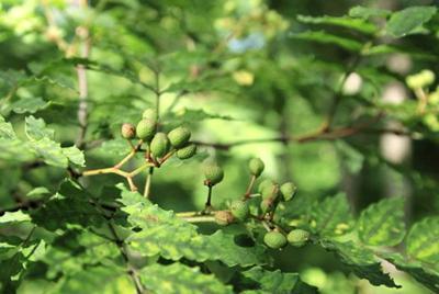 アファンの森のサンショウ=C.Wニコル・アファンの森財団提供