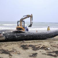 2018年8月に神奈川県鎌倉市の海岸に漂着したシロナガスクジラの子供の死骸