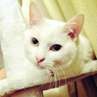 保護猫カフェを卒業して、里親のもとで暮らすつきみ=提供写真