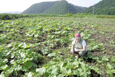 昨年種まきしたフキ畑で、生育状態などを確認する伊藤さん