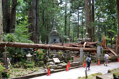 台風の強風で墓地に倒れ込んだ杉=和歌山県高野町の高野山奥の院で2018年8月30日、松野和生撮影