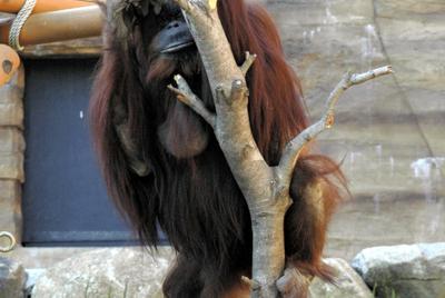 左目を失明したモリーは、指で垂れ下がった右のまぶたを持ち上げ、右足でシャベルを持ちながら木に登っていた=多摩動物公園で2006年5月
