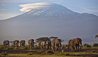 In this file photo of Monday Dec.17, 2012, a herd of adult and baby elephants walks in the dawn light as the highest mountain in Africa, Tanzania's Mount Kilimanjaro, is seen in the background, in Amboseli National Park, southern Kenya. (AP Photo/Ben Curtis)