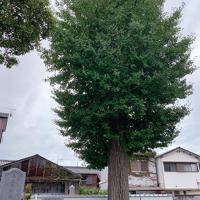 学童疎開を受け入れた当時から境内に残るのは、イチョウの木など、ごく限られているという=和歌山県湯浅町の福蔵寺で、最上聡撮影
