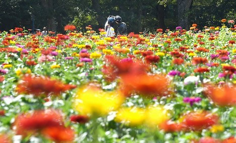 A maze-like arrangement of Zinnia, a flower commonly found in Mexico, is seen in bloom to herald the end of summer at Hitachi Seaside Park in Hitachinaka, Ibaraki Prefecture, just northeast of Tokyo, on Aug. 17, 2019. The flowers are expected to be at their best until early September. (Mainichi/Daiki Takikawa)