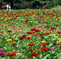 Zinnia, which are commonly found in Mexico, are seen in bloom to herald the end of summer at Hitachi Seaside Park in Hitachinaka, Ibaraki Prefecture, on Aug. 17, 2019. Some 350,000 flowers in 10 varieties are blooming at the site. (Mainichi/Daiki Takikawa)