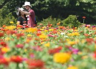 Zinnia, are seen in bloom at Hitachi Seaside Park, a popular tourist spot for domestic and international visitors, in Hitachinaka, Ibaraki Prefecture, on Aug. 17, 2019. (Mainichi/Daiki Takikawa)