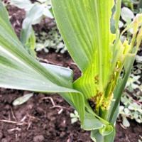食害被害を受けた飼料用トウモロコシ(茨城県病害虫防除所提供)