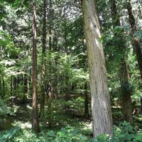 伐採時期を迎えているヒノキ林=高松市内で、山口桂子撮影
