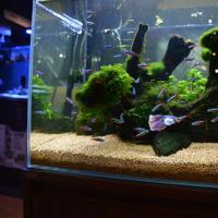 色合いやヒレの形状のバリエーションが豊富で人気のベタ(中央の大きな魚)と、群泳する姿が美しいカージナルテトラ=パウパウアクアガーデン銀座で