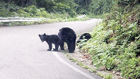 Asiatic black bears are seen walking on a road in Kitaakita, Akita Prefecture. (Photo courtesy of the Akita Prefectural Government's natural protection division)