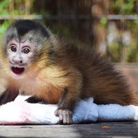 フサオマキザルのウタ。タオルが相棒で、ずっとつかまっているという=とべ動物園提供