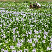 かれんな薄紫色の花を咲かせるホテイアオイ=埼玉県加須市で2019年8月25日、竹内紀臣撮影