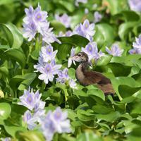 薄紫色のホテイアオイの花をついばむ小鳥=埼玉県加須市で2019年8月25日、竹内紀臣撮影