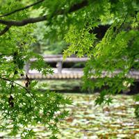 池の周りで揺れるイロハモミジ=神戸市北区の市立森林植物園で、春増翔太撮影