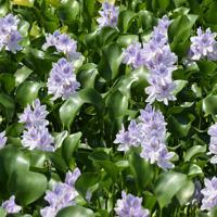 かれんな薄紫色の花を咲かせるホテイアオイ=埼玉県加須市で2019年8月25日午後0時55分、竹内紀臣撮影