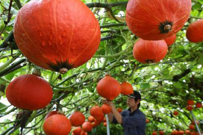 空中栽培でたわわに実ったカボチャ「空飛ぶパンプキン」=北海道長沼町で2019年8月29日、貝塚太一撮影