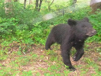 A bear is seen in the Afan Woodland. (Photo courtesy of the C.W. Nicol Afan Woodland Trust)