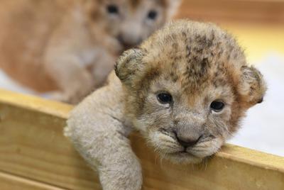飼育舎で元気に育つライオンの双子の赤ちゃん=山口県美祢市で2019年8月25日、上入来尚撮影