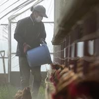 新しい鶏舎で鶏にえさをやる小林廉さん。えさは麦の他、米ぬかや魚粉、ホタテの貝殻などを自家配合している=北海道厚真町浜厚真で2019年6月25日、北山夏帆撮影