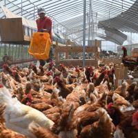 新しい鶏舎に迎え入れた鶏の世話をする小林廉さん。鶏舎もボランティアの人と共に、自分の手で建てた=北海道厚真町浜厚真で2019年6月25日、北山夏帆撮影
