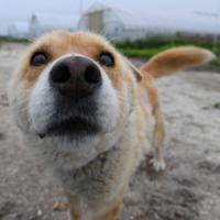 鶏舎を守る番犬のちくわ。1年前の地震で一時取り残されたが、やせ細りながらも生き延びて助け出された=北海道厚真町浜厚真で2019年6月24日、北山夏帆撮影