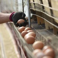 小林廉さんが大事そうに回収するのみたての卵=北海道厚真町浜厚真で2019年6月25日、北山夏帆撮影